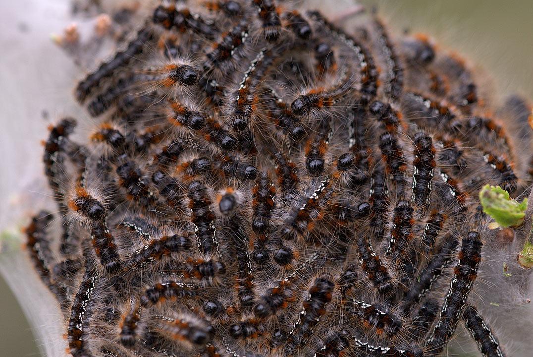 Bruchi di Eriogaster catax