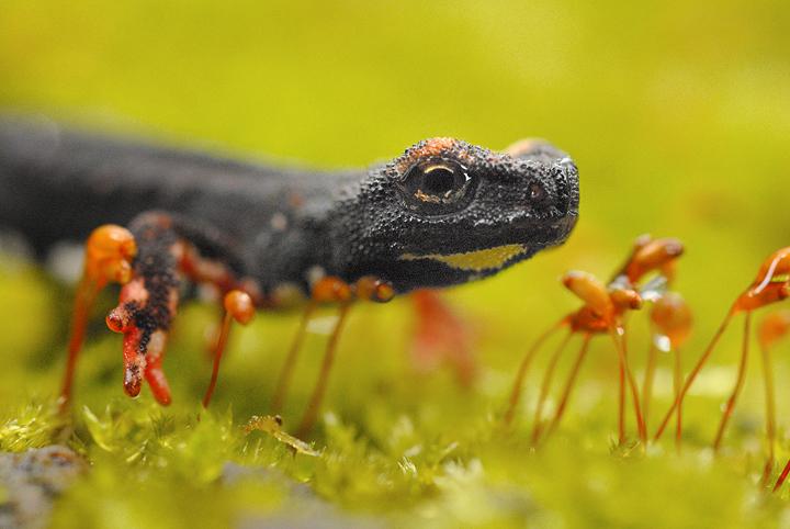 Salamandrine perspicillate forum natura mediterraneo for Che tipo di prestito puoi comprare terra