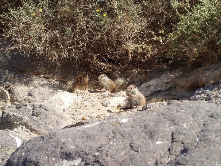 Scoiattolo di terra di Barberia in Fuerteventura (Spagna)