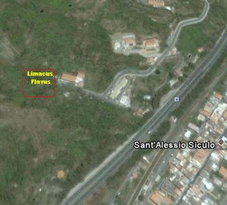 Limacus flavus da San Alessio/Siculo (ME)
