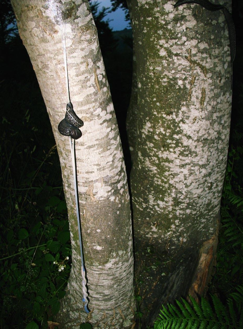 Limax aldrovandi Moquin-Tandon 1855 in accoppiamento (AR)