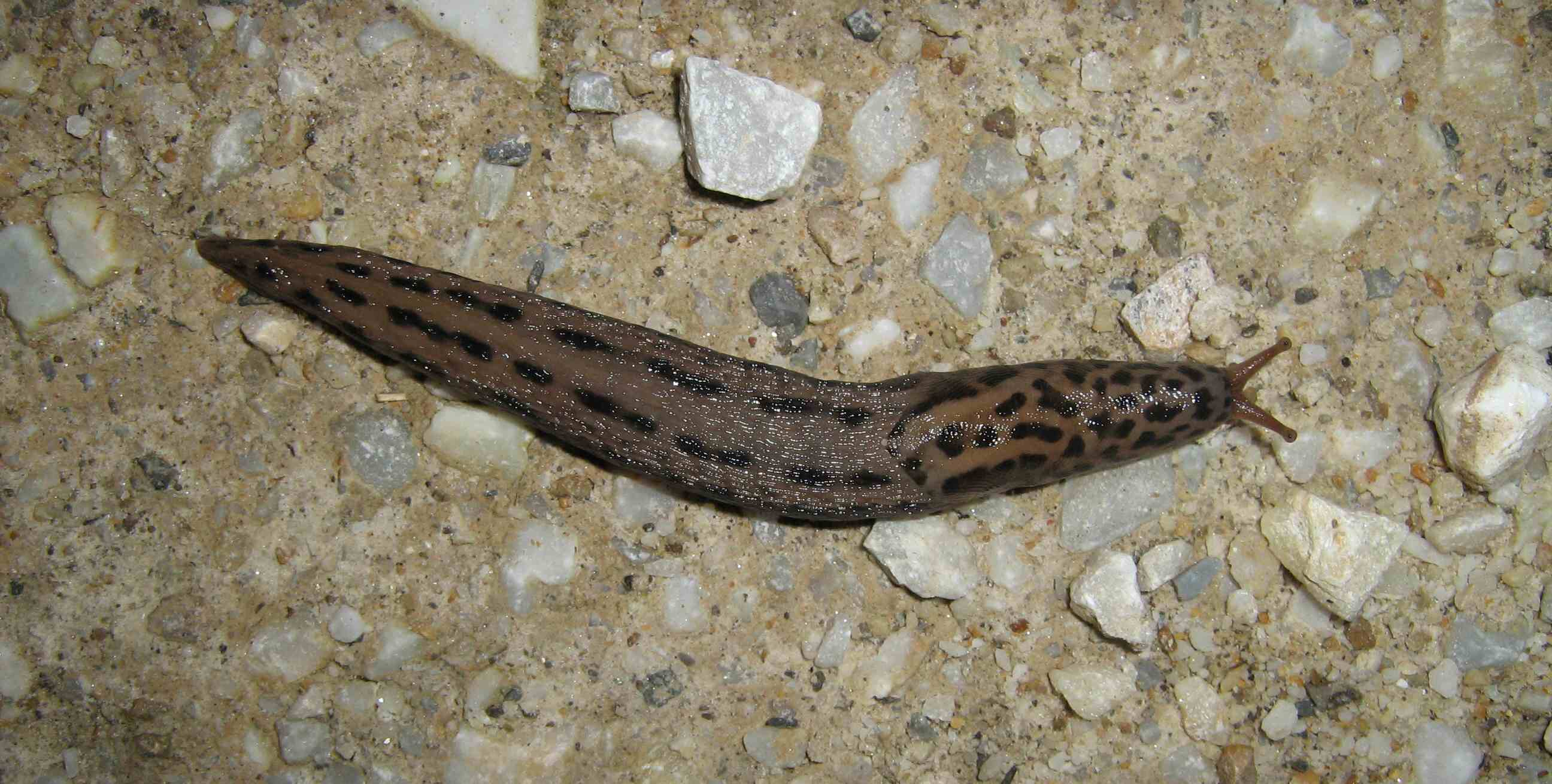 Limax maximus da Cuneo (Piemonte)