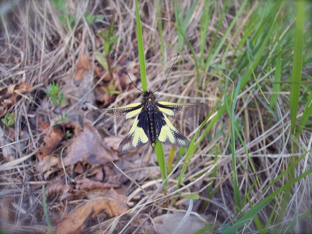 Libelloides coccajus (maschio)