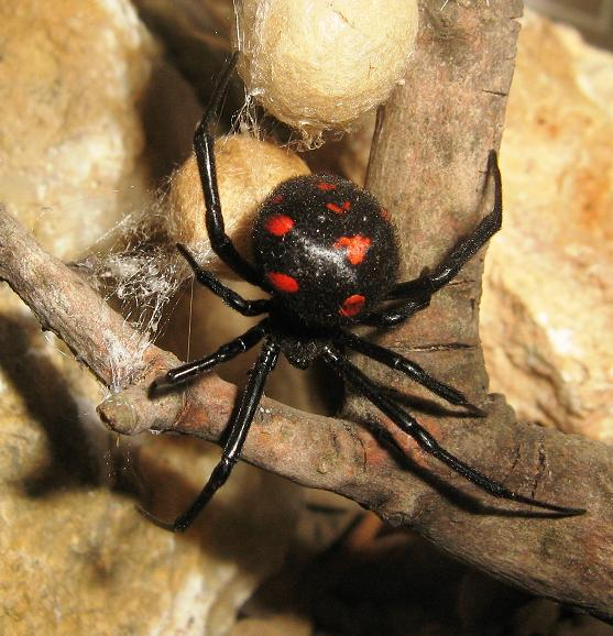 Spider Bites: Black Widow vs. Brown Recluse