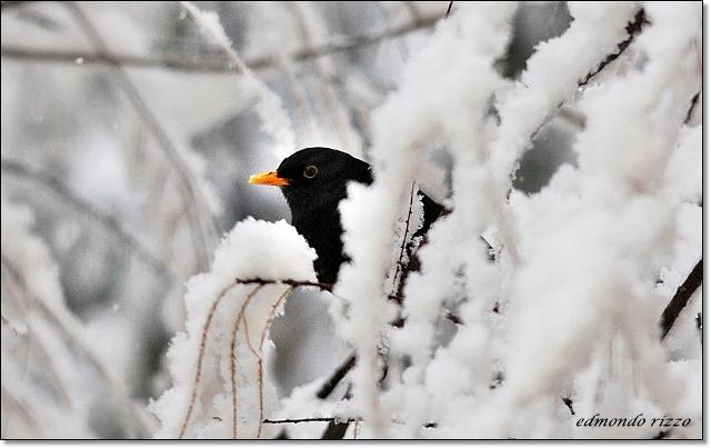 Cinciallegra, merlo e la neve