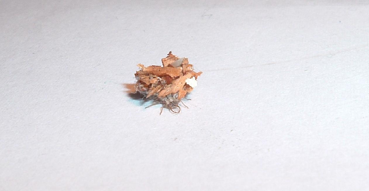 consigli per l''allevamento (larva di Dichochrysa)