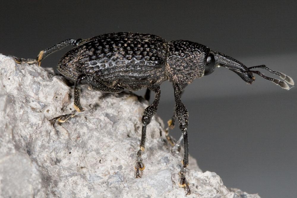 Aclees taiwanensis, il nuovo alieno nasuto