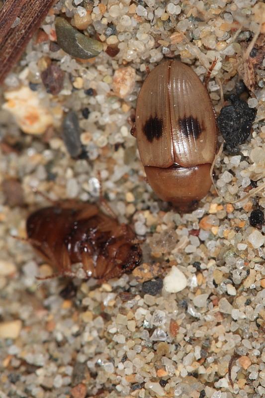 Le Phaleria dell''Elba! Phaleria bimaculata ssp. bimaculata