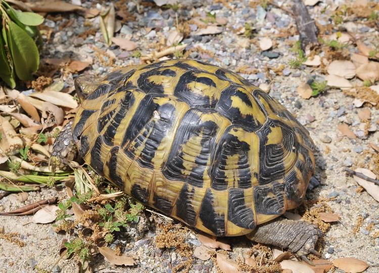 Testudo hermanni hermanni tartaruga corsa a cuppulata for Terra per tartarughe di terra