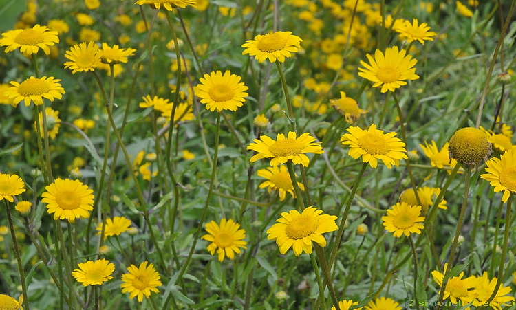 Coleostephus myconis / Un campo di fiori gialli.... , Forum Natura Mediterran...
