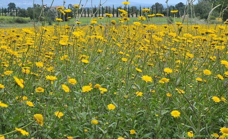 Fiori Gialli Campo.Coleostephus Myconis Un Campo Di Fiori Gialli Forum Natura
