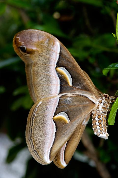 Farfalla da 16,5 cm di apertura alare... Samia cynthia
