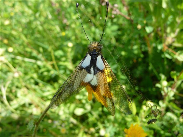 Libelloides coccajus femmina