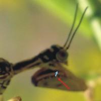 Come riconoscere i Mantispidae