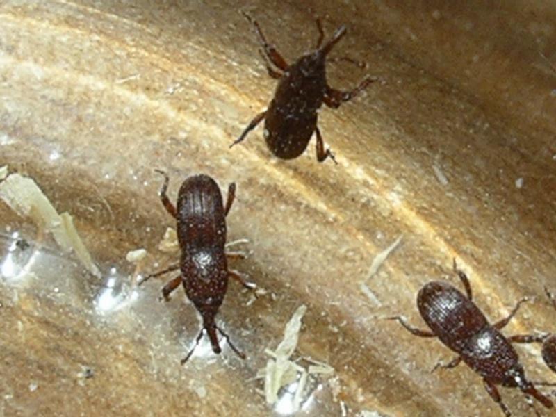 Sitophilus granarius molisano