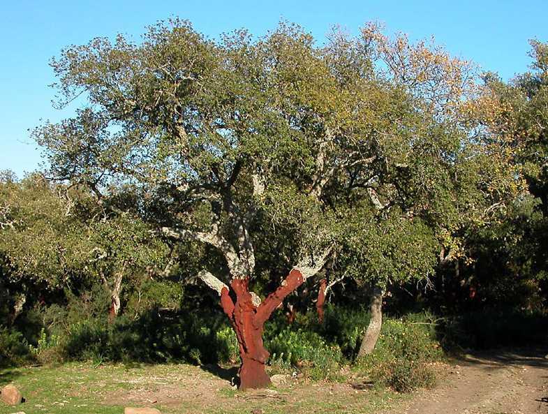 Quercus suber quercia da sughero forum natura mediterraneo forum naturalistico - Sughero pianta da giardino ...