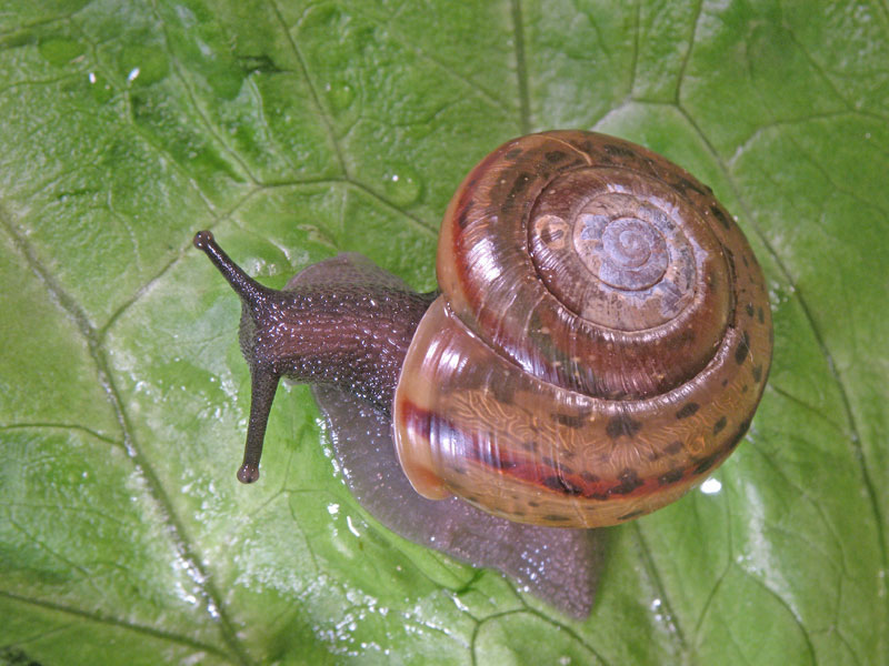 Chilostoma (Chilostoma) zonatum zonatum (Studer, 1820)