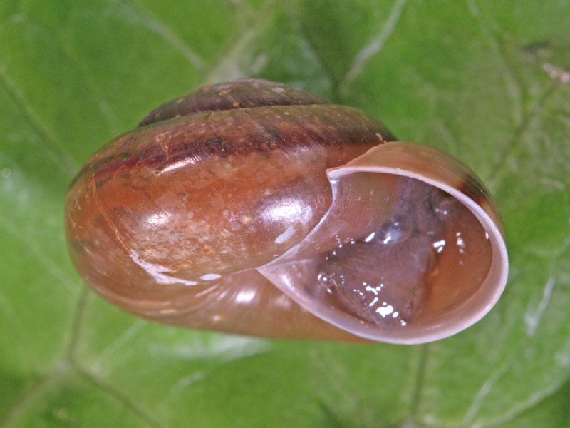 Chilostoma (Chilostoma) zonatum zonatum (Studer, 1820)