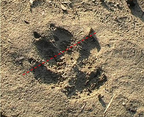 Tracce della presenza del lupo