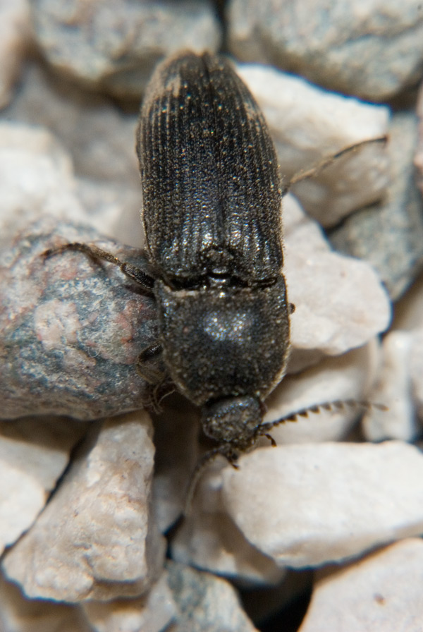 Elateridae: Melanotus sp.