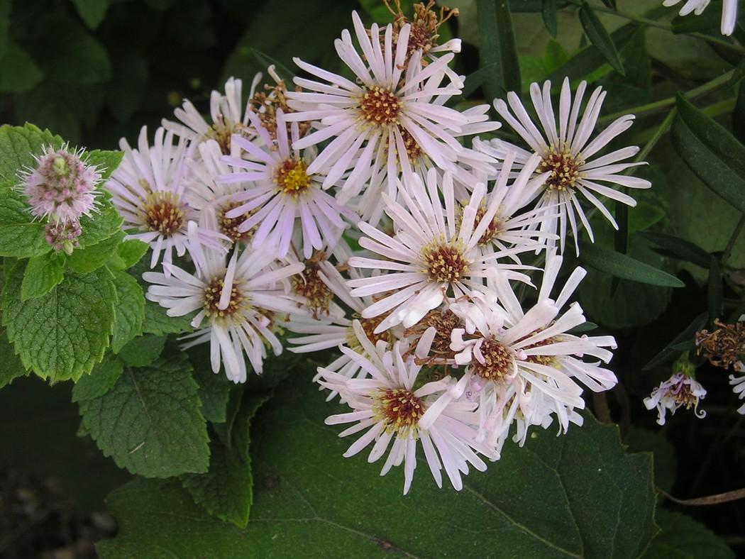 Pianta da determinare aster sp forum natura - Aster pianta ...