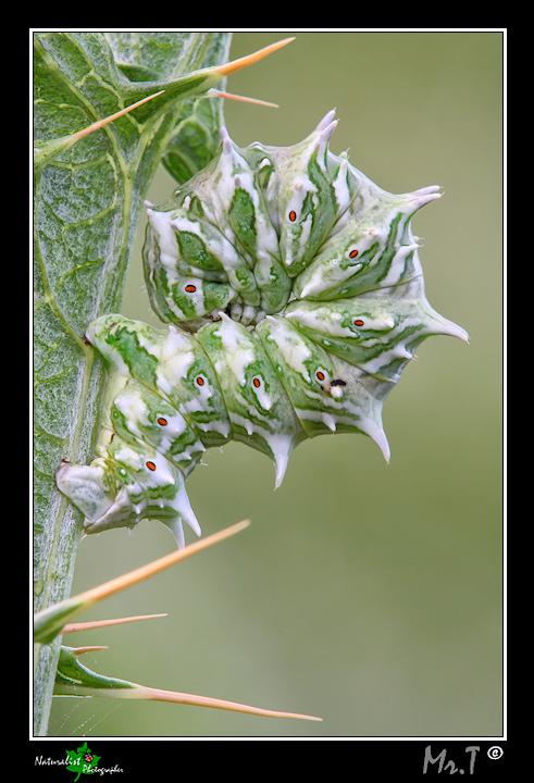 Bruco enorme sconosciuto, verde e bianco! - A. flabellaria