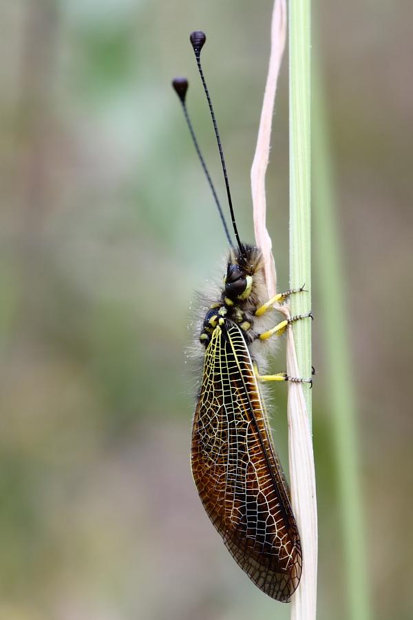 Libelloides siculus