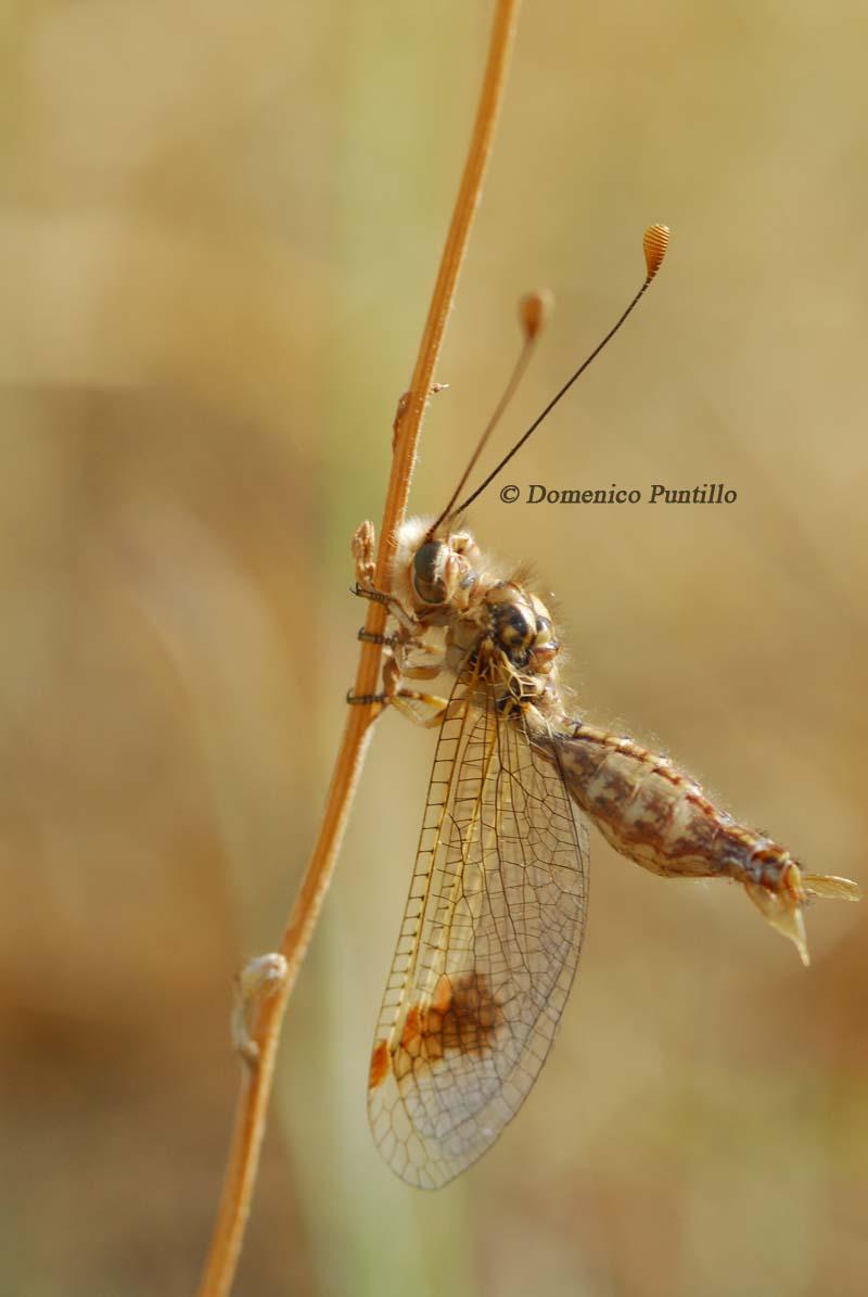 Neurottero:Deleproctophylla australis