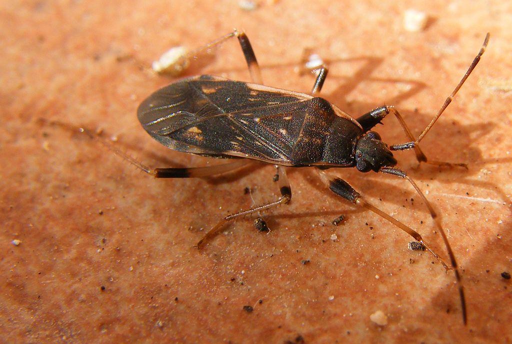 Lygaeidae: Dieuches armatipes (forma scura) della Sardegna