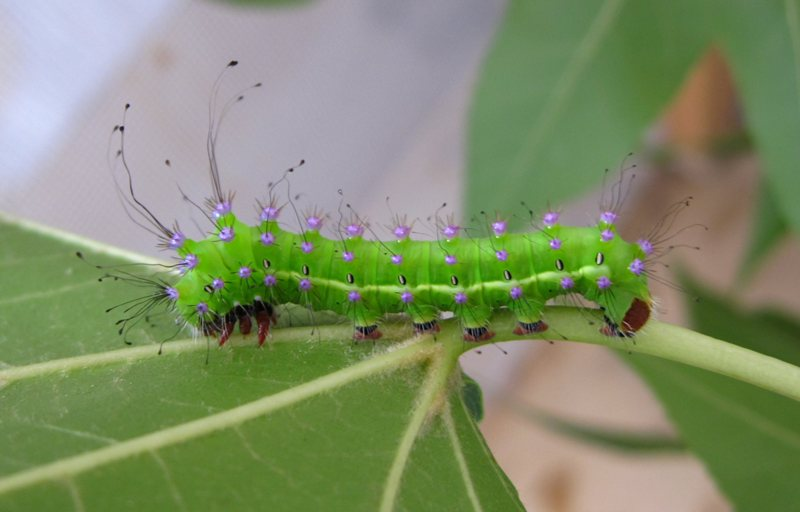 Evoluzione saturnia pyri forum natura mediterraneo - Colorazione dei bruchi ...