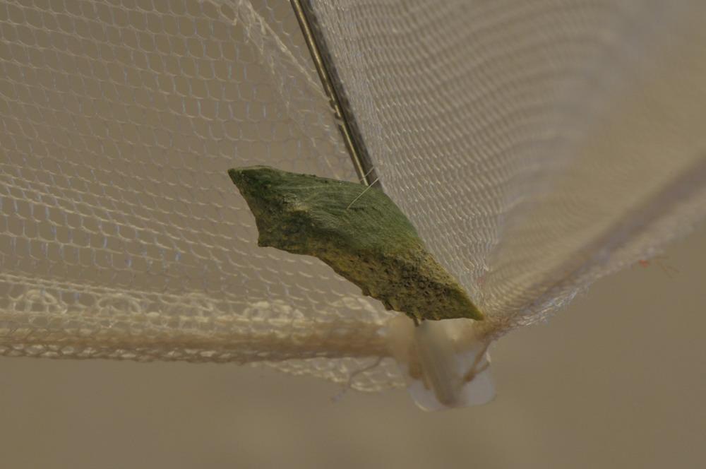 bruco, e protuberanze sconosciute - Papilio machaon