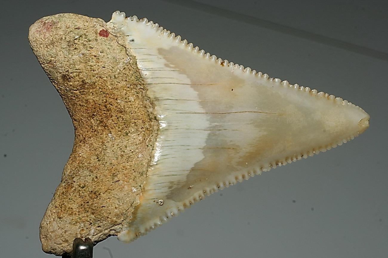 Dente di Carcharodon carcharias in Sardegna!!!