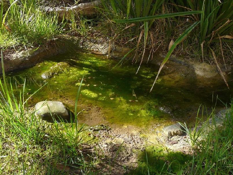 Pianta acquatica ranunculus tricophyllus forum natura for Alghe laghetto artificiale