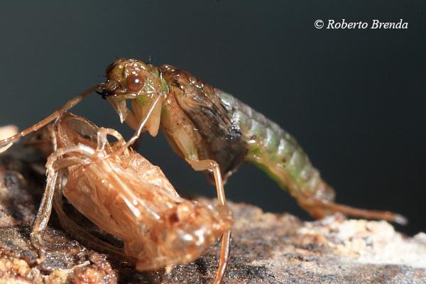 Fasi della vita di un tricottero - Da larva ad adulto.