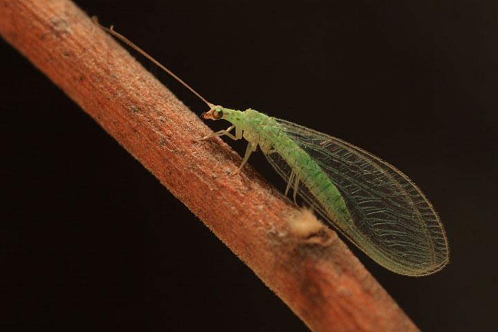 Determinazione di Chrysopidae (Dichochrysa sp. pr. picteti).