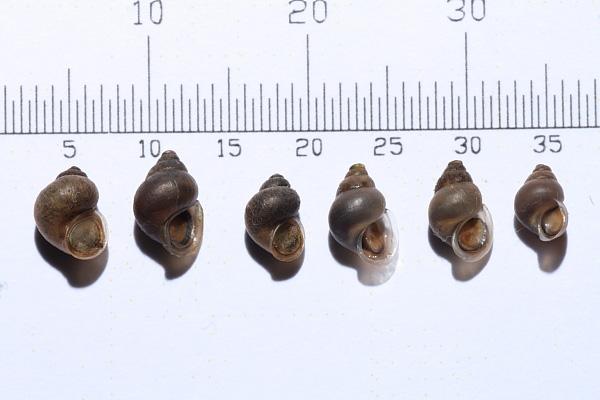 Emmericia patula (Brumati, 1838) nel Fiume Tirino(PE)