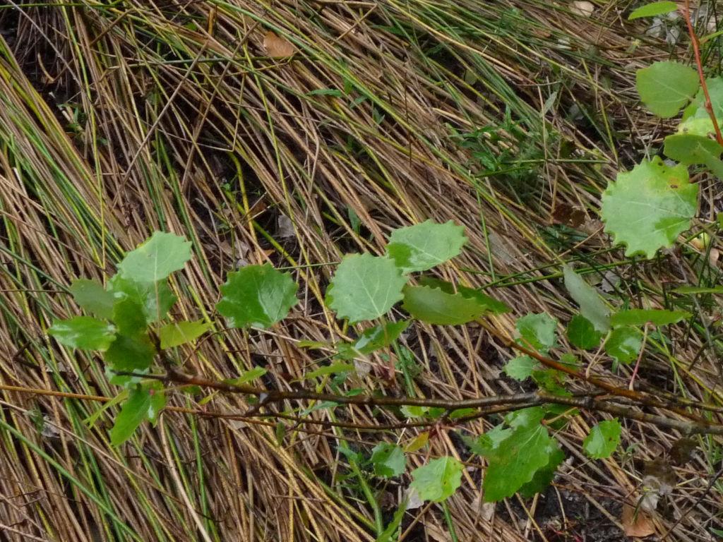 Populus tremula / Pioppo tremulo