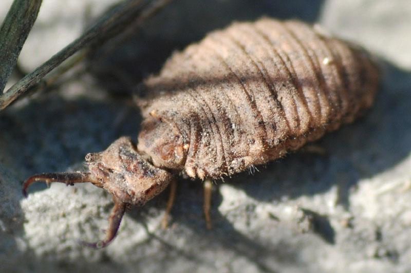 Larva Palpares libelluloides