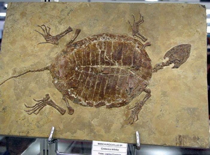 Tartaruga fossile , Forum Natura Mediterraneo | Forum ...