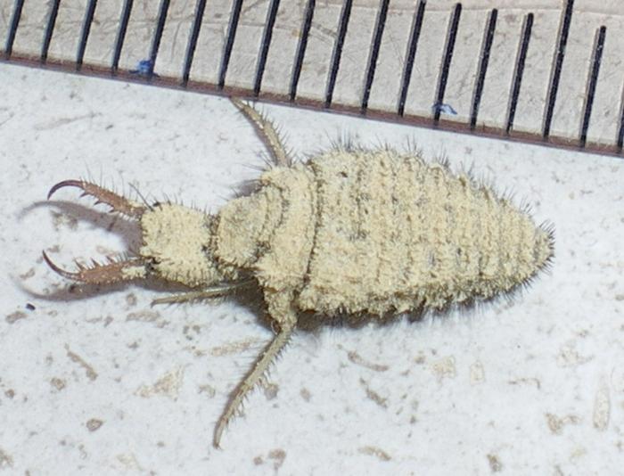 Larva di Myrmeleon formicarius