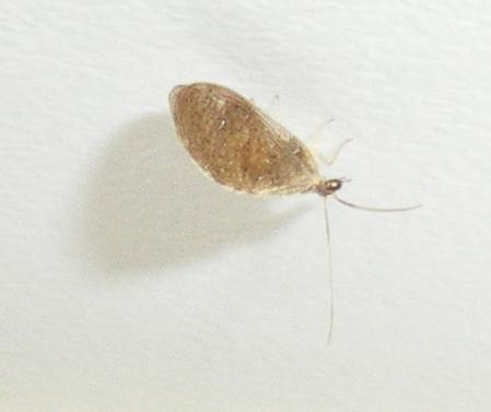Hemerobidae: Sympherobius cf. pygmaeus