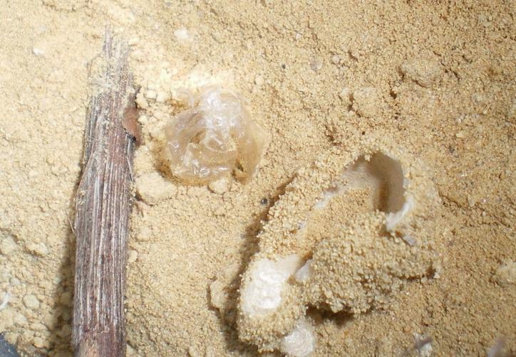 Myrmeleon formicarius: la metamorfosi