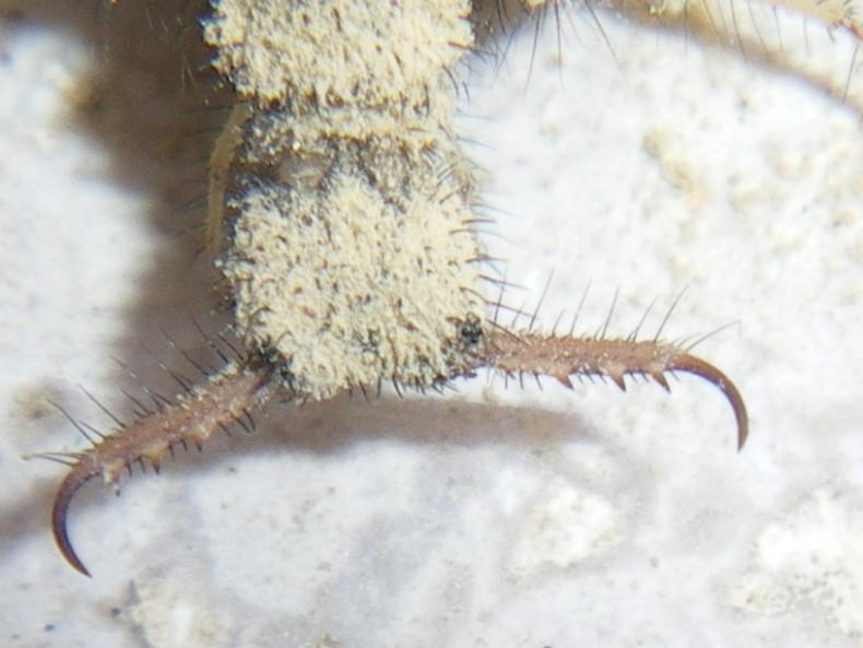 Larva Myrmeleon formicarius