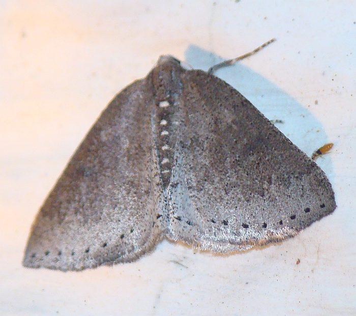 da identificare II : Aleucis distinctata (maschio)