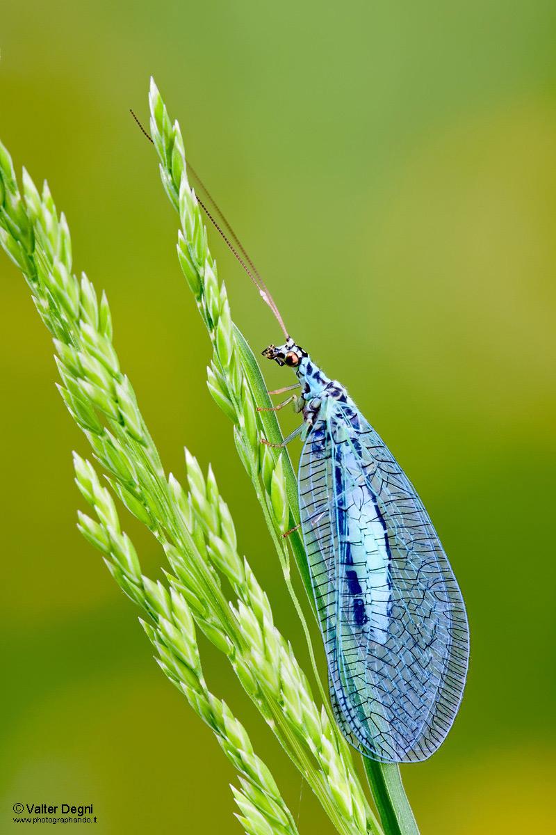 Crisopa azzurra - Chrysopa perla