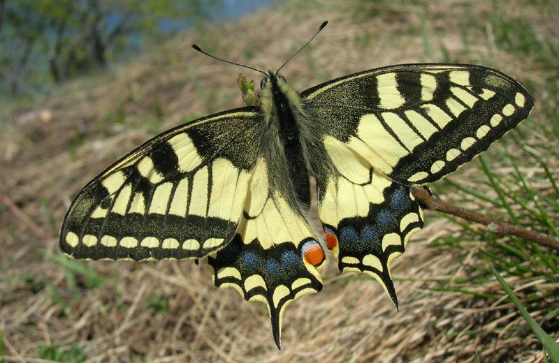 Papilio machaon - Papilionidae..........dal Trentino
