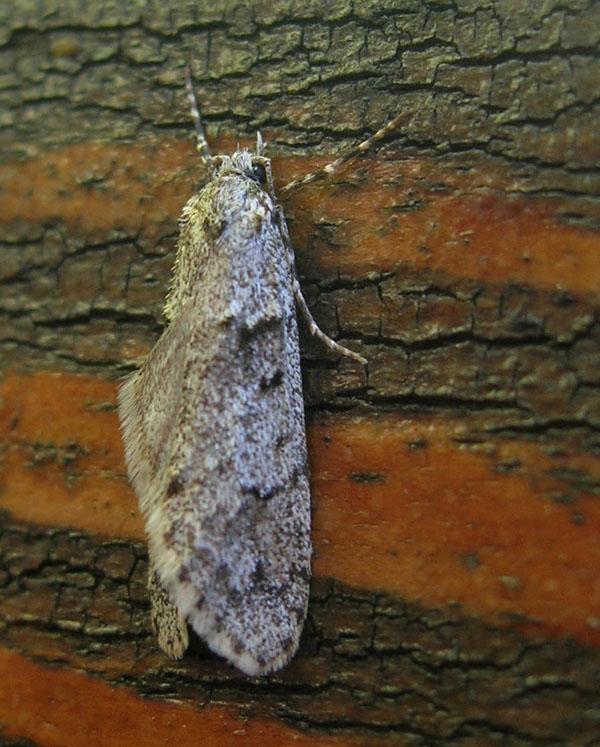 Diurnea fagella - Chimabachidae....dal Trentino