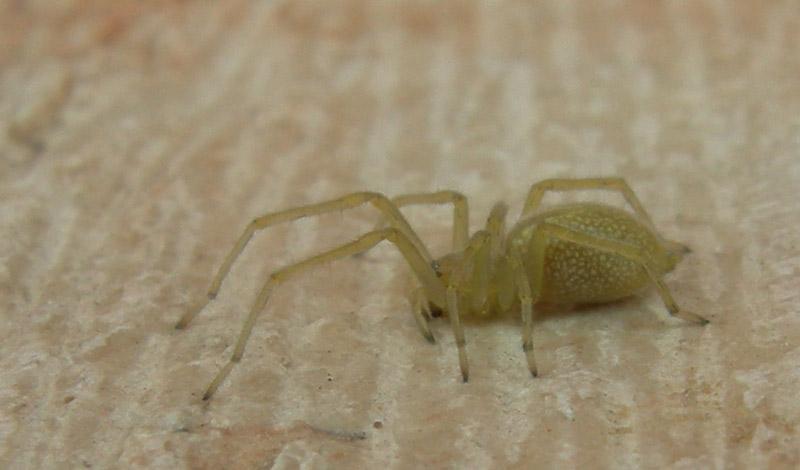 Cheiracanthium sp. - Cheiracanthiidae - Ravina (TN)