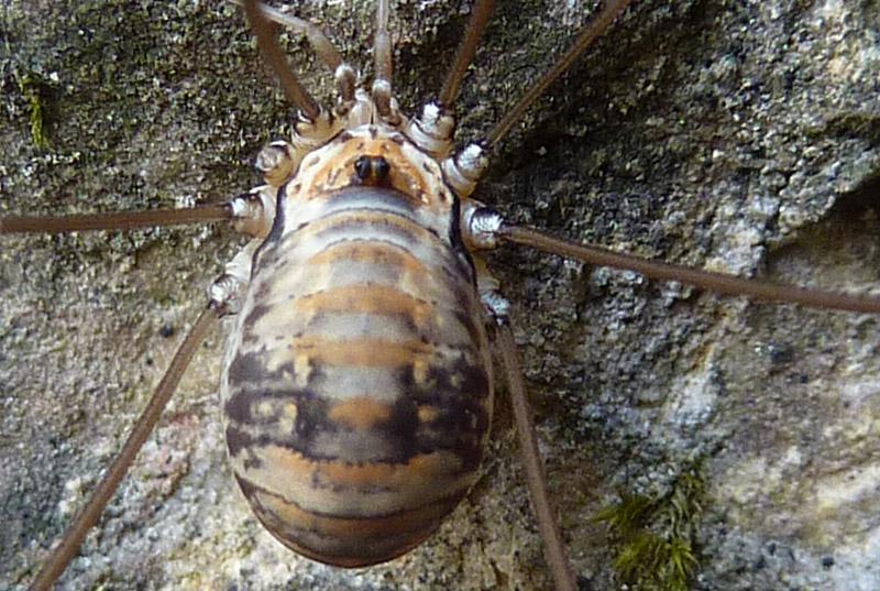 Leiobunum limbatum femmina del Trentino