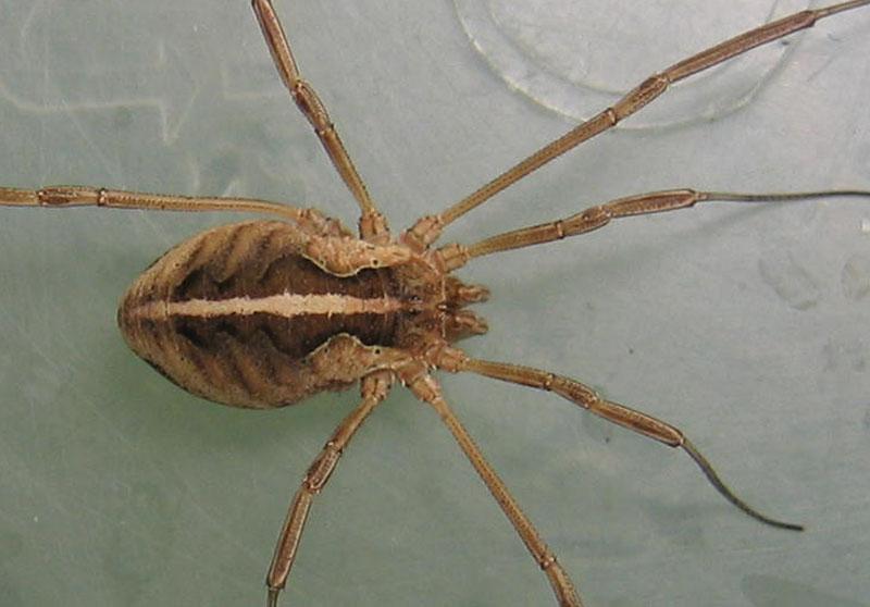 Opilione trentine: Mitopus morio (f)